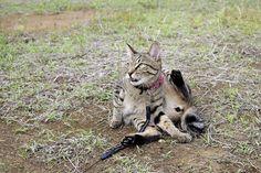 毛づくろい中に鳥がよってきてあわてるキジトラ猫の虎ノ介