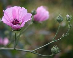 Althaea cannabina Seeds from Chiltern Seeds - Chiltern Seeds Secure Online Seed Catalogue and Shop Garden Plants, Indoor Plants, Chemistry Set, Seeds Online, Seed Catalogs, Cold Frame, Replant, Types Of Soil, Green Leaves