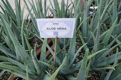 """Aloe vera, sometimes described as a """"wonder plant,"""" is a short-stemmed shrub. Aloe is a genus that contains more than 500 species of flowering succulent plants. Many Aloes occur naturally in North Africa.Surprising Benefits of Aloe Vera!"""