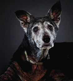"What a beautiful face! From the book ""Beautiful Old Dogs"" edited by David Tabatsky ~ Photography by Garry Gross"