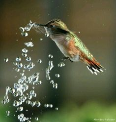 Rufous Hummingbird enjoying the water.
