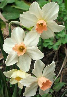 miniature daffodils I planted these last autumn.