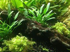 Garnalen aquarium, wie wil dat niet? Zoveel soorten, zoveel verschillende voorkeuren voor een garnalen aquarium. In deze blog lees je er alles over!