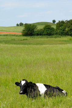 daily Farm Playset Genuine Energetic National Geographic Farm Life New Zealand Milk Cows