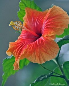 Hibiscus,one of my favourite flowers Hibiscus Flowers, Flowers Nature, Exotic Flowers, Tropical Flowers, Tropical Plants, Amazing Flowers, Beautiful Flowers, Hawaiin Flowers, Flower Pictures