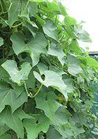 Choko - The most unappreciated vegetable in Australia
