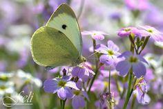 Pieris brassicae.  #friendsofphotooriginal  #macro #macrophotography #macroaddict  #macro4all #nature #naturephotography  #naturephotos #bokeh #bokehpho... - Feli Gil Davila - Google+
