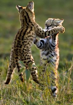 ♂ Masculine Animals wild life photography Cubs Fighting