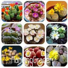 Rare Blend Lithops Seeds, Living Stones, Cactus and Succulent Vegetable Garden and Organic Seed