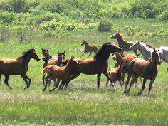 A herd of mares and foals Arabian horses
