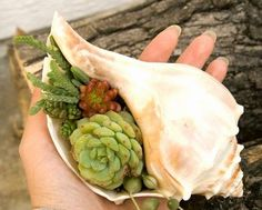 whelk shell succulent plant--GREAT IDEA- finally I can use my large, outdoor conches and whelks for something other than just decoration!!