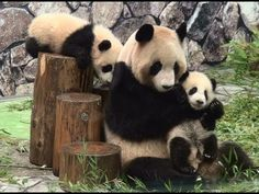 Twins panda babies, kaihin and Youhin, at Adventure World, Nanki-Shirahama, Wakayama, JAPAN