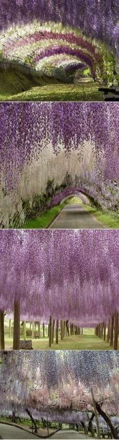 """flower tunnels"" of a park located in Fuji Gardens in Kawachi, Japan"