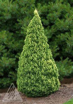 Kigi Nursery - Picea glauca ' Rainbows End ' Dwarf Alberta Spruce, $20.00 (http://www.kiginursery.com/dwarf-miniatures/picea-glauca-rainbows-end-dwarf-alberta-spruce/)