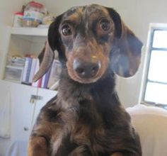 Emma Rose is an adoptable Dachshund Dog in Salem, MO.  Emma Rosewas brought to the shelter with two other dachshunds by a man who stated the owner was a breeder and had taken her other dogs and gone ...