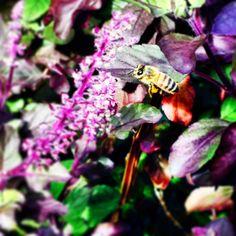 #byuh #garden #bee