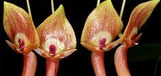 Acronia ruberrima