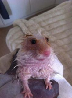 We all love cute animals, but sometimes they look terrifying when their fur is wet. Here are 22 adorable animals that look scary when they're soaking wet. Funny Rats, Funny Hamsters, Funny Animal Jokes, Cute Rats, Cute Funny Animals, Funny Animal Pictures, Animal Memes, Funny Looking Animals, Random Pictures