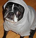 "Boston Terrier Ceilidh's gotta ""whatta face.""  #bostonterrier"