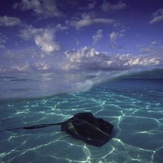 Stingray City, Grand Cayman Island. Photo by @daviddoubilet North Sound Grand Cayman Island is a perfect oceanic stage starting with sun dappled sand, southern stingrays and clouds. In the late 80s a handful of #stingrays gathered here under fisherman's boats waiting for scraps. Now hundreds of rays visit the sound each day to meet thousands of tourists. These gentle rays may be the first or only encounter a person has with marine life.