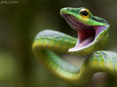 Green Snake of Costa Rica