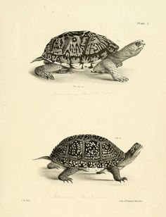Natural history of New York Div. 1 pts. III-IV Plates  tortoise sketch  Albany,D. Appleton & co. and Wiley & Putnam;1842-94.  biodiversitylibrary.org/page/29588028