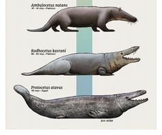 Evolution Series: The Walking Whales Whales are perhaps the most remarkable group of animals to go back to sea, and their evolutionary journey is now quite well understood due to a variety of fossils. Prehistoric World, Prehistoric Creatures, Mythological Creatures, Prehistoric Dinosaurs, Stone Age Animals, Beast Creature, Wale, Extinct Animals, Funny Animal Pictures