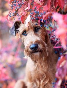 10 Most Important Tips to Training Your Puppies Funny Animal Pictures, Cute Funny Animals, Cute Dogs, Terrier Breeds, Airedale Terrier, Animal Photography, Fall Photography, Lakeland Terrier, Wire Haired Dachshund