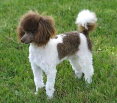parti+poodle | About the Poodle- Aussiedoodle and Labradoodle Puppies | Aussiedoodle ...