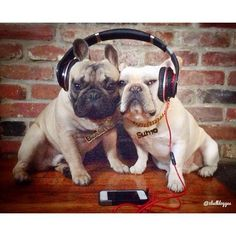 Escuchando al perro, escuchando Bulldog.