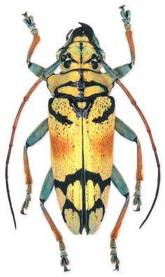 Tmesisternus sp.  Location: Indonesia   Size:2.3 cm