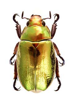 Plusiotis (Chrysina) curoei (Warner et al.1992) F Scarabaeidae SF Rutelinae 25 mm Costa Rica