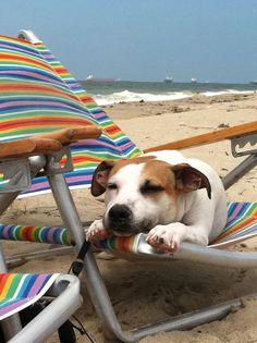 dog beach - this is the life! Although this wouldn't be my jack at the beach.  She would be chasing the seagulls.