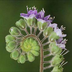 Phacelia scariosa,  Boraginaceae