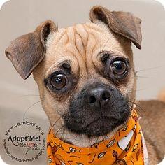 mailo pug beagle mix puggle hunde pinterest mops beagles und beagle mischung. Black Bedroom Furniture Sets. Home Design Ideas