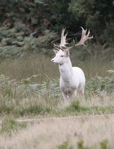 White Fallow Deer by Kevin  Keatley, via 500px