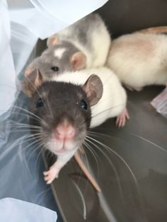 My boyfriends rat Frodo with my rat Parker and his other rat Sam in the background. #aww #cute #rat #cuterats #ratsofpinterest #cuddle #fluffy #animals #pets #bestfriend #ittssofluffy #boopthesnoot
