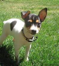 toy fox terrier-- come on now... mini Luke--need