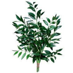 Nagi Green filler- 8-10 stems per bunch-10 bunches for $119.99-15 bunches for $149.99- 25 bunches for $179.99