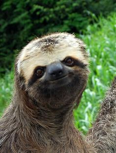 "The sloth's face is much more ""squished together"" than humans; his nose, eyes, and mouth are all much closer together than in humans."