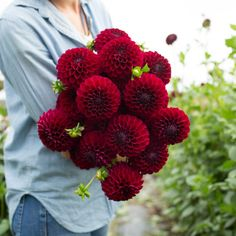 Chimacum Night - If you're growing for grocery stores, farmer's markets, or straight bunch sales, the following varieties are for you. They are all EXTREMELY productive, easy to grow, have long-strong stems, hold up in both poor weather, and during transport and display.