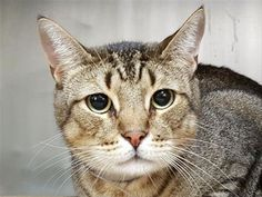 STORM - 11099 - - Manhattan  ***TO BE DESTROYED 11/02/17***THE PURRFECT STORM NEEDS YOU!!! Three year old terrific tabby, Storm is not happy his owner dumped him at the shelter.  Who can blame him? This handsome fella is a healthy boy who has lived peacefully with kids. He's yet another precious pet who's been with his family since kittenhood only to be sadly surrendered when they decided to move without him. Let's do all we can to move the purrfect Storm