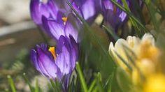 FOTOvýber z našich záhrad: Radosť robia šafrany, fialky aj hyacinty