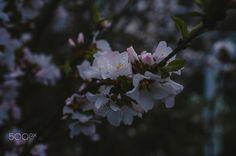 felt cherry - Felt blooming cherry on a rainy day