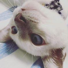 もうねむいね〜 明日は月曜日。。がんばりましょー . . #猫 #ねこ #にゃんこ #にゃんすたぐらむ #ねこすたぐらむ #ねこ部 #にゃんだふるらいふ #猫のいる暮らし #猫のいる生活 #ふわもこ部 #猫好きさんと繋がりたい #トンキニーズ #白猫 #ペット #愛猫 #かわいい #kawaii #cat  #white #pet #instacat #neko  #fluffy#NEKOくらぶ #みんねこ #ペコねこ部 #桃千代 #ねむい
