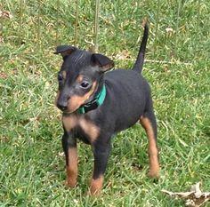 76 Best Manchester Terrier Images Toy Manchester Terrier Terrier