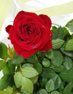 Eat You Out, Give It To Me, Amazing Flowers, Beautiful Roses, Dark Red Roses, Special Flowers, Birthday Treats, Fingerprints, My Flower