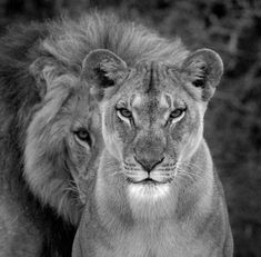 The lion protects.but the lioness is the one who brings to the table .let's her family eat.and takes whatever scraps are left Beautiful Creatures, Animals Beautiful, Cute Animals, Big Cats, Cats And Kittens, Lion Couple, Lion Family, Lion Love, Lion Art