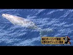 絶滅危惧種のジュゴン Dugong of the endangered species in Okinawa #Okinawa #Henoko #Dugong #SaveDugong #AntiUSbase 沖縄県名護市の辺野古沖のジュゴンの映像。 ジュゴンは絶滅危惧種に指定されていて大人のジュゴンとみられるとい...