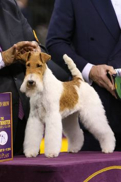 Best In Show winner, Afterall Painting The Sky, the Wire Fox Terrier